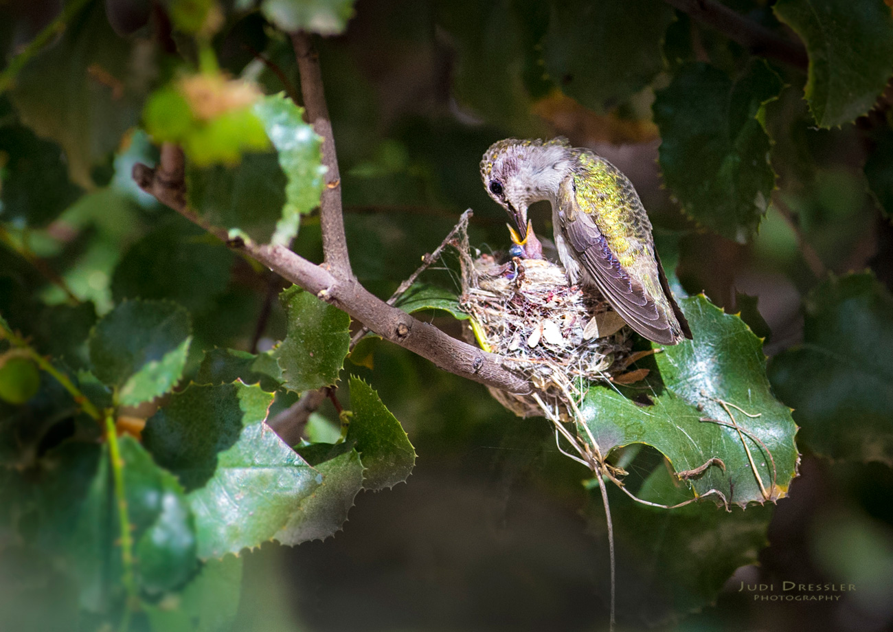 Costa's Hummingbird on Nest