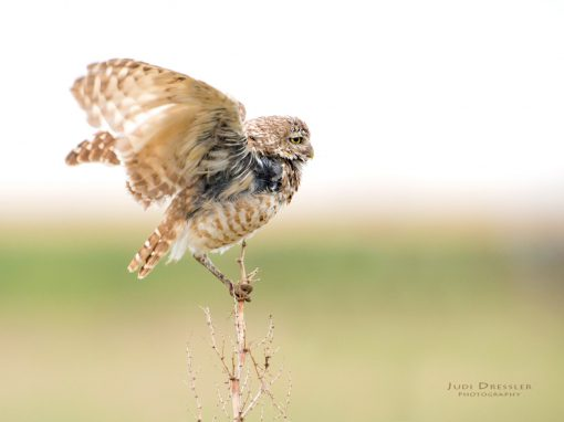 Male Burrowing Owl on Mullein