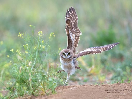Young Burrowing Owl Spies Grasshopper