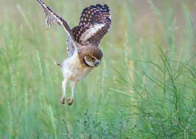 Flying Baby Burrowing Owl
