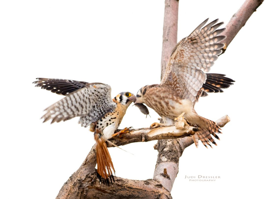Kestrel Handing Mouse To Baby