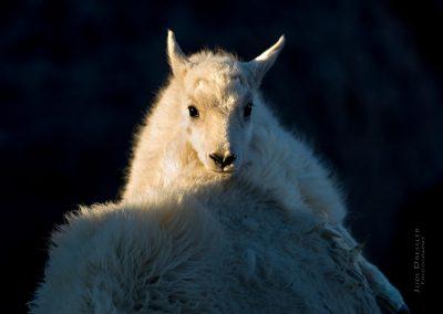 Safe On Mamma Mountain Goat