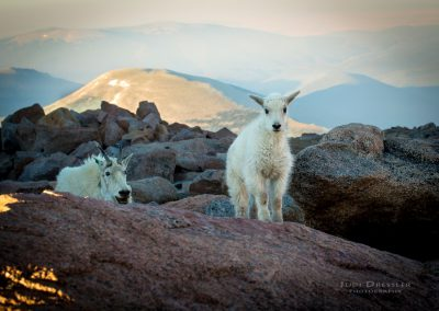 Mountain Goat Scolding Baby