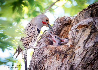 Daddy Flicker feeding babies
