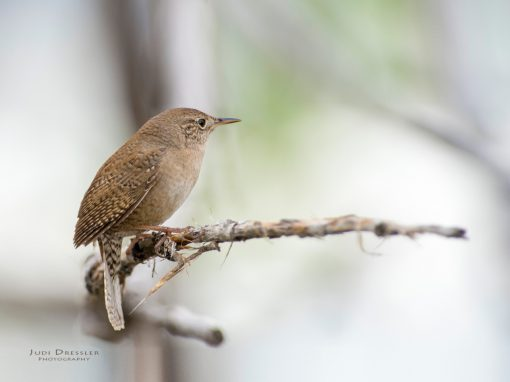 Portrait of a House Wren
