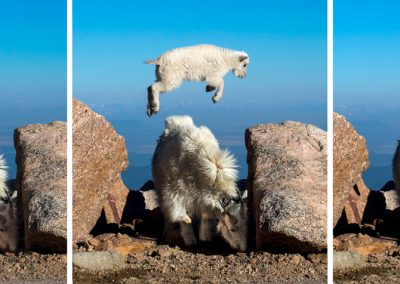 Mountain Goat Leap-frog Triptych