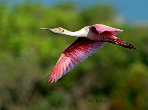 Flying Spoonbill