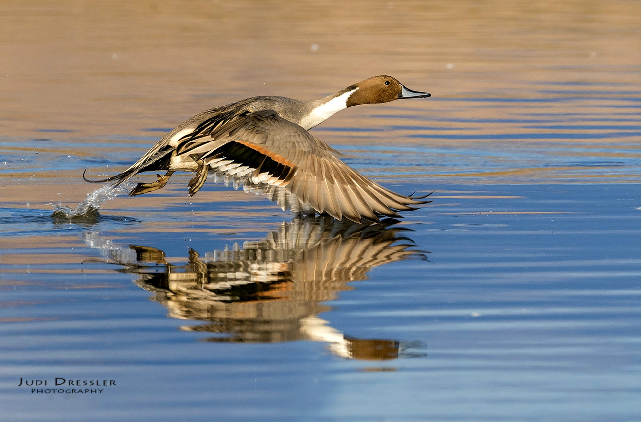 Northern Pintail with Reflection