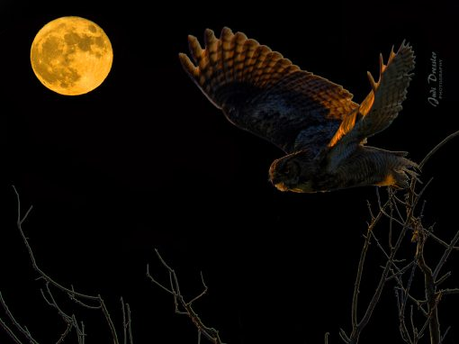 Moonlit Great Horned Owl