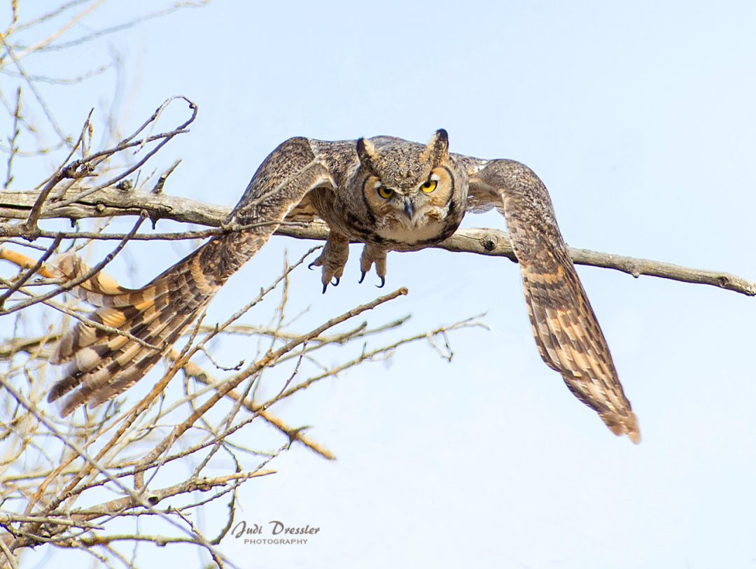 Great Horned Owl Taking Off