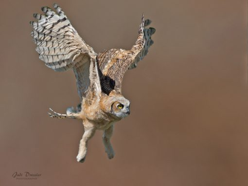 Young Great Horned Owlet