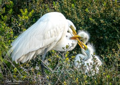 Great White Egret Nest — Mom and Babies
