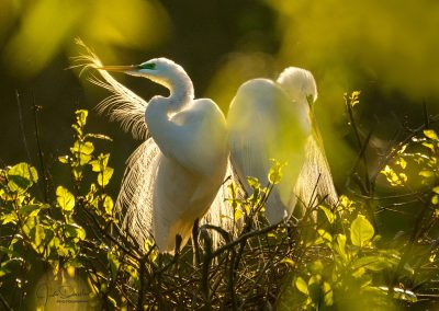 Nesting Great Egrets In The Early Morning Sun