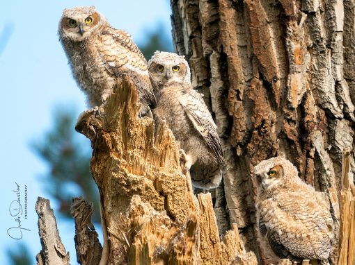 Great Horned Owl Siblings