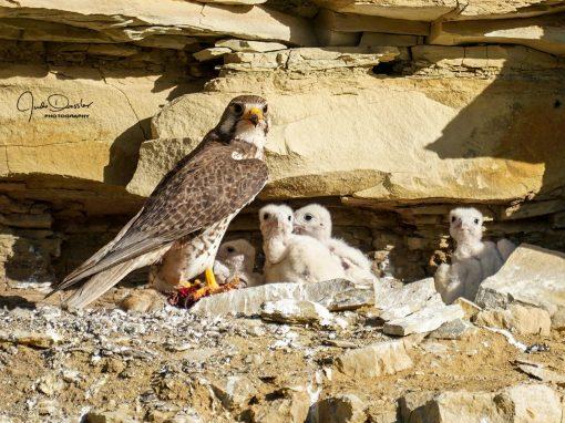 Prairie Falcon Cliff Nest