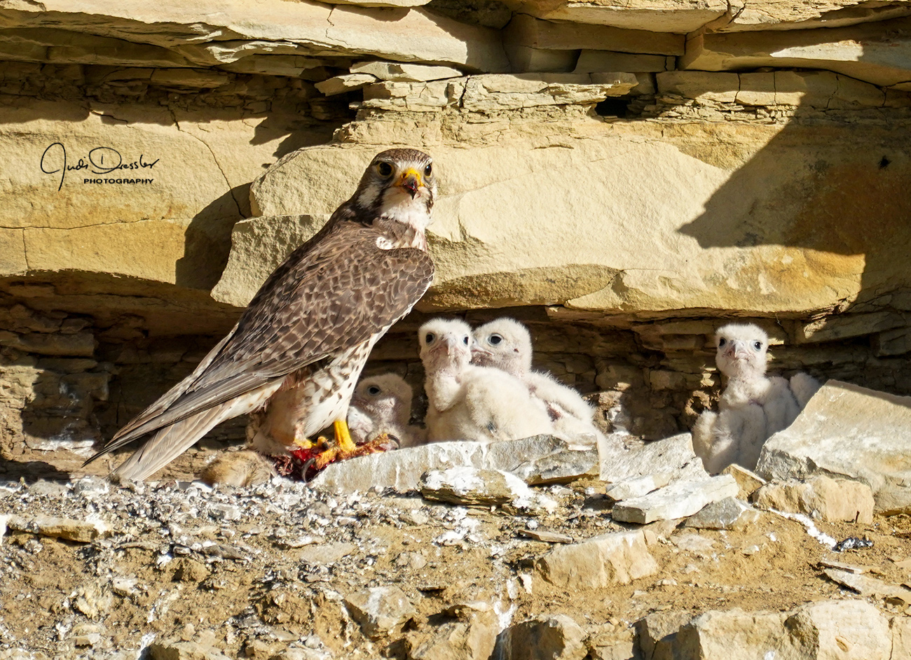 Prairie Falcon Cliff Nest