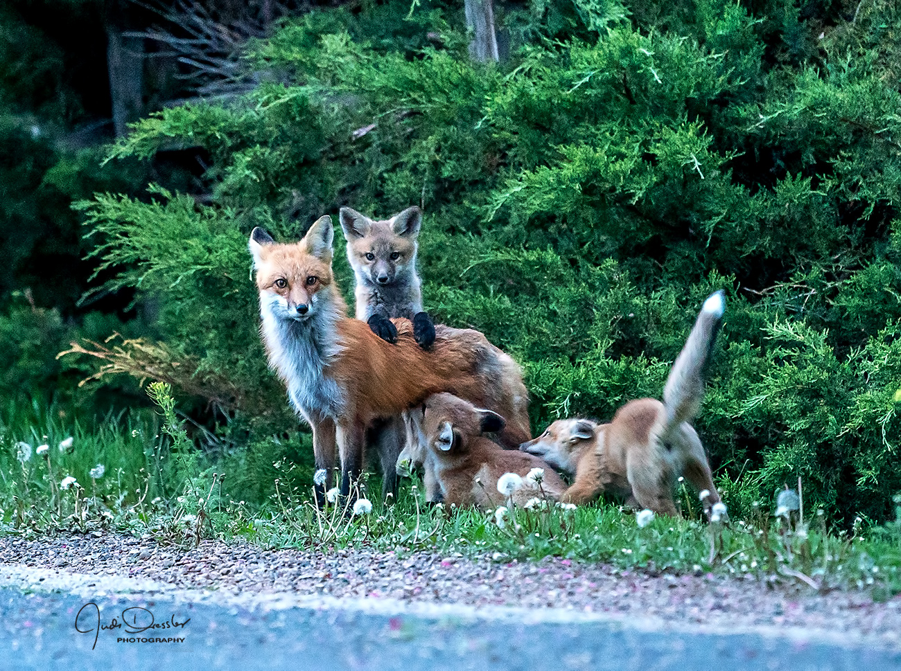 Red Fox Family