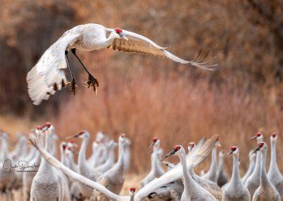 Incoming — Sandhill Crane