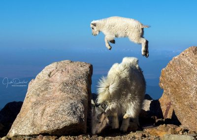 Leaping Baby Mountain Goat