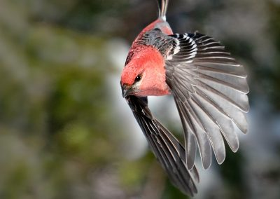 Diving Pine Grosbeak