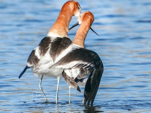 Avocet Love