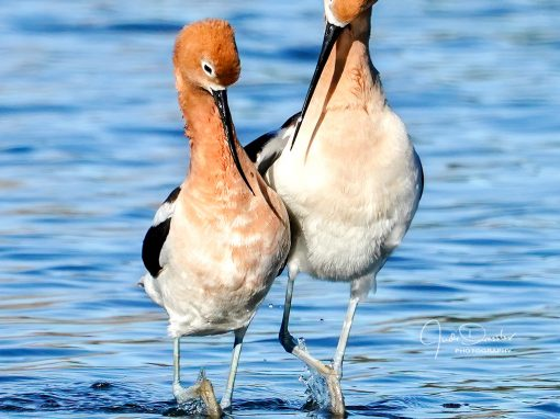 Avocet Dance