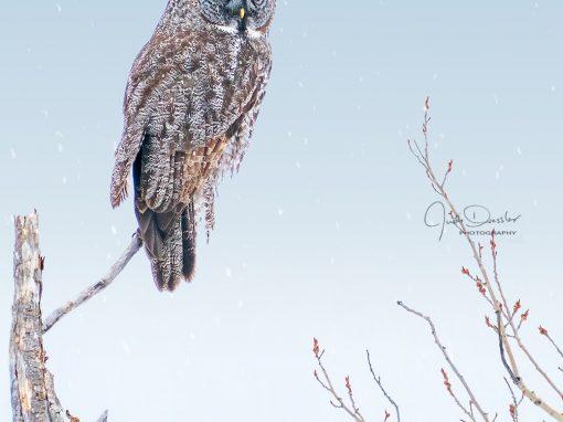 Majestic Great Gray Owl