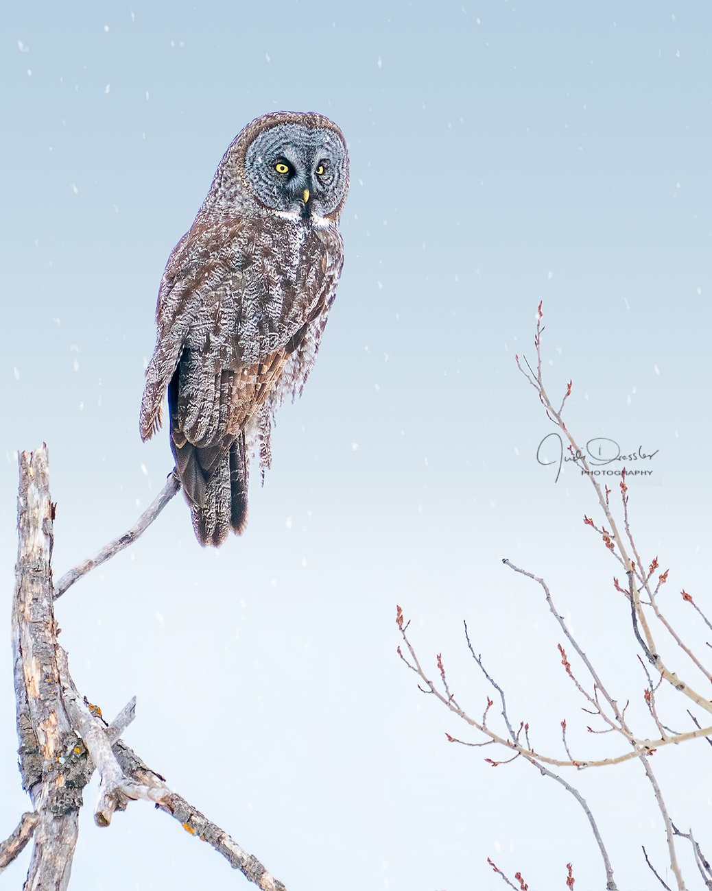 Majestic Great Gray Owl