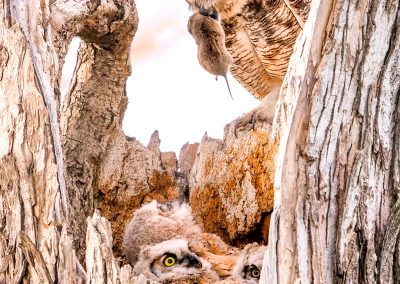 Dinner For The Great Horned Owl Family