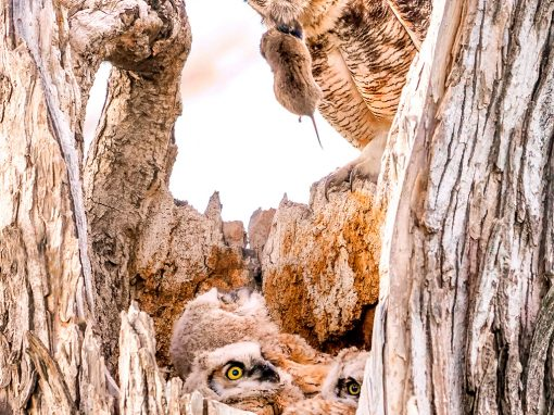 Dinner For The Great Horned Owl Family