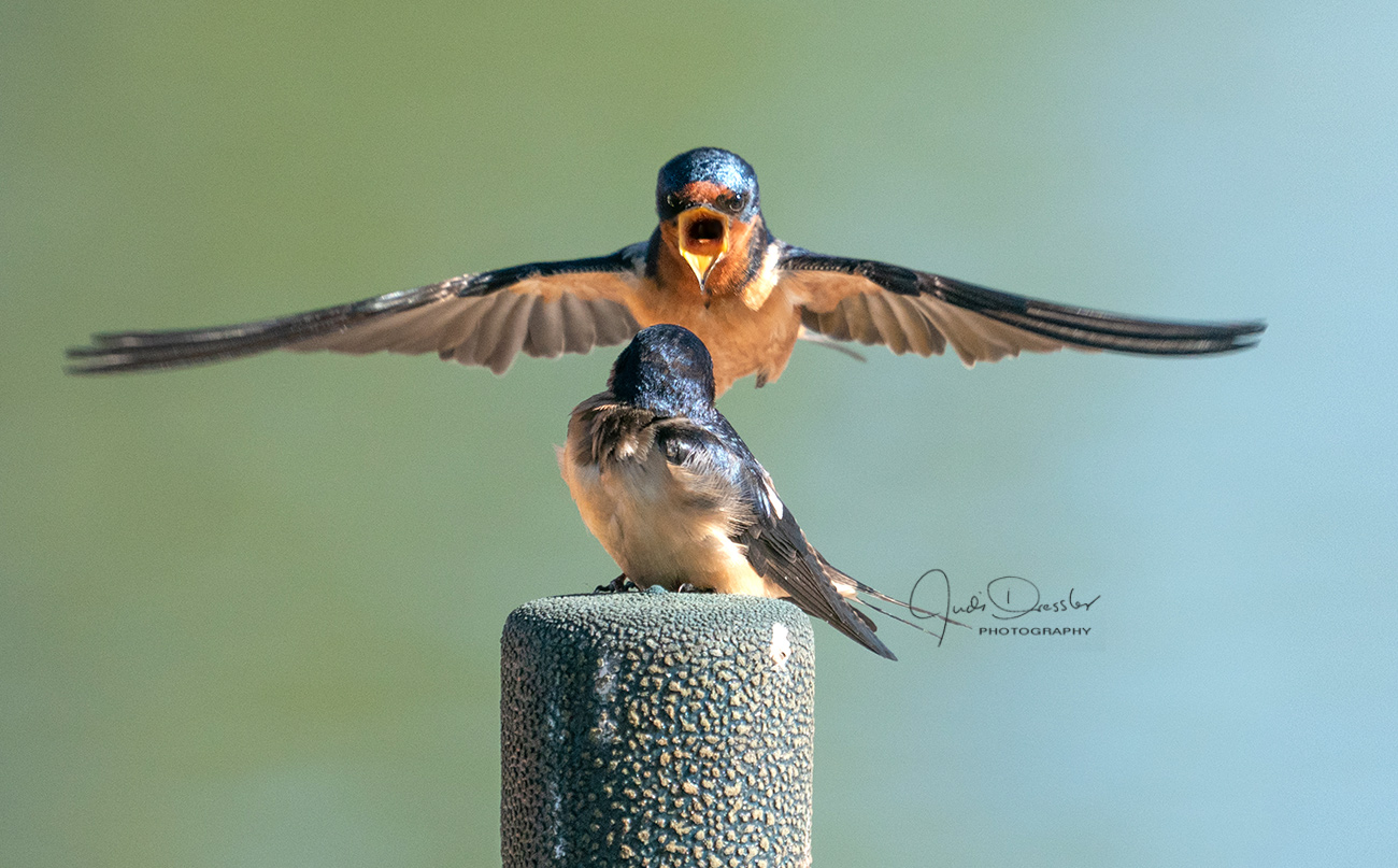 Hey, Babe, Let's Rock N Roll -- Barn Swallows