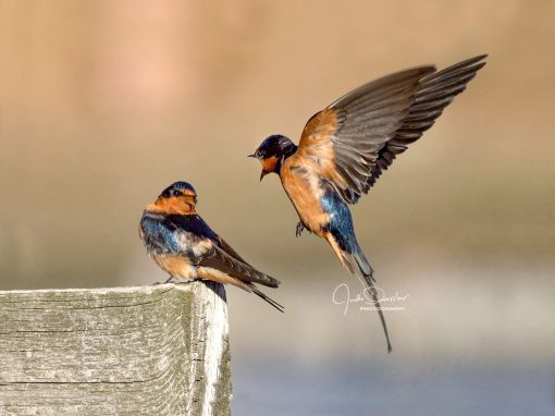 Barn Swallow Conversation