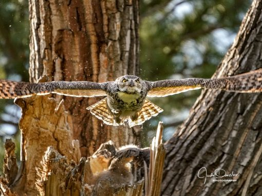 Momma Great Horned Owl Blasting Out Of The Nest
