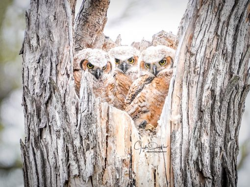 Owl Baby Triplets