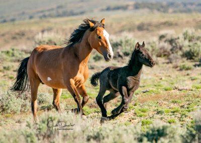 Running Wild Mustangs – Mom And Baby