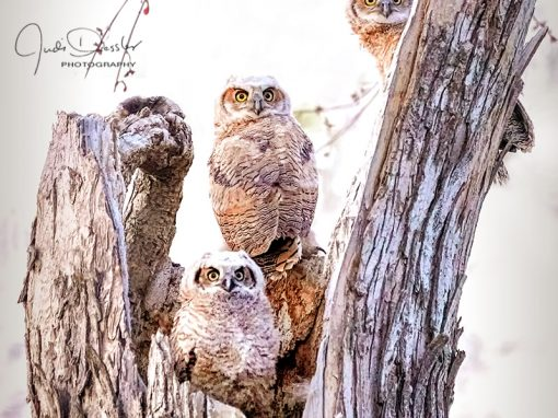 Owl Trio Standing Guard