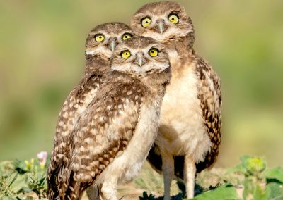 It's a plane, it's a bug, it's a bird — burrowing owl babies