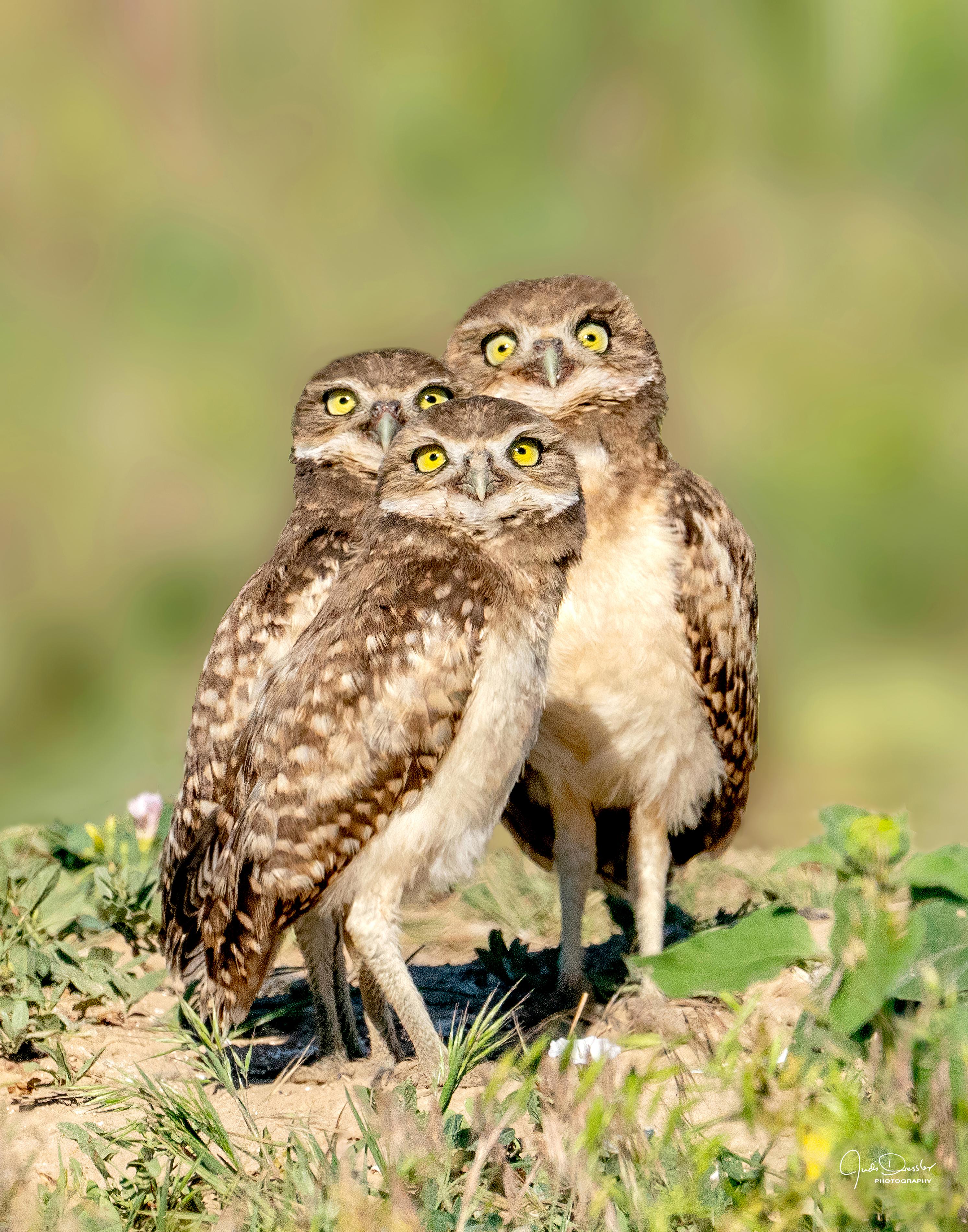 It's a plane, it's a bug, it's a bird -- burrowing owl babies, owls