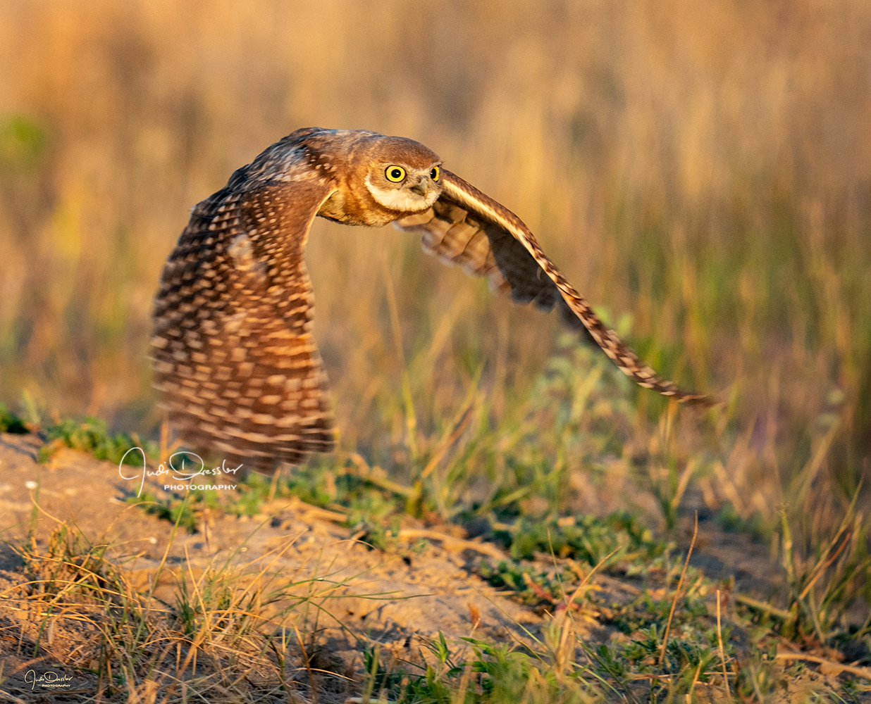 Young Burrowing Owl at Sunrise