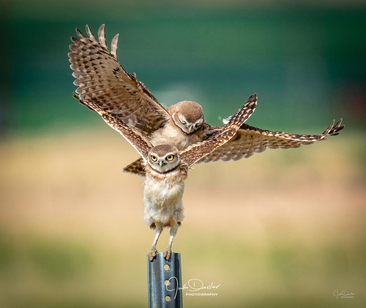Too darn cute, burrowing owls