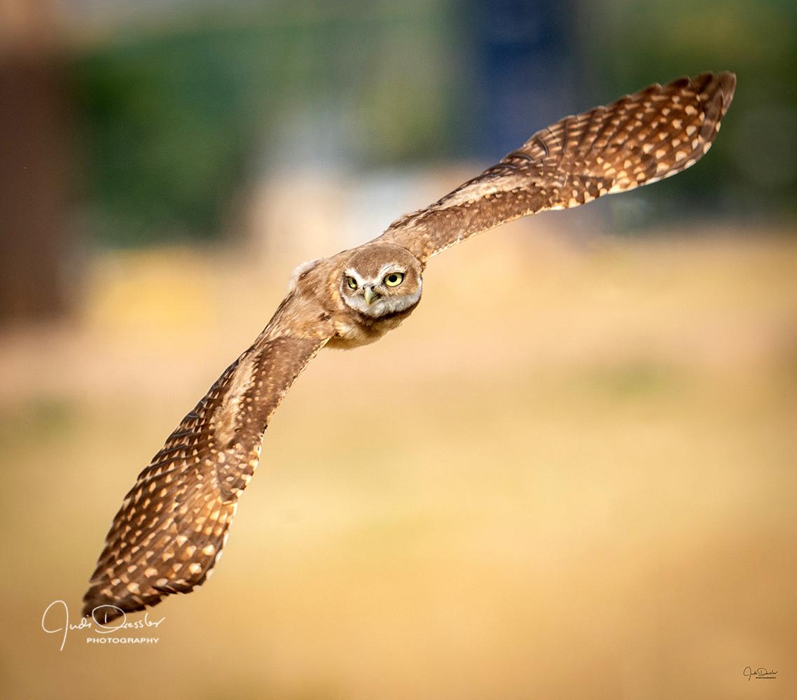 burrowing owls, owlets, owls, young owls, flying, flight, immature, prairie owls, burrowing owl, owl, birds, nature, colorado, birds, athene cunicularia, strigiformes, in flight, wildlife, strigidae, striginae, raptors, bird of prey, cunicularia