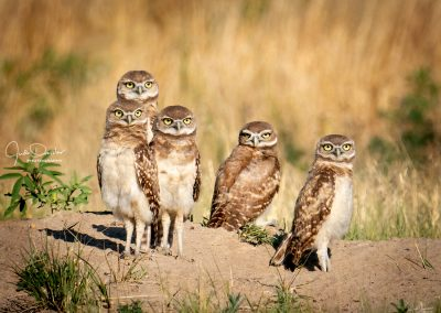 Five Young Burrowing Owls
