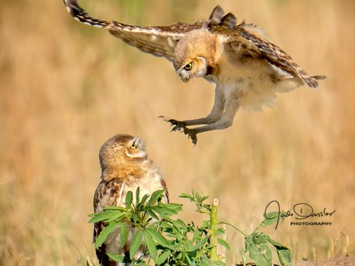 Baby Burrowing Owl Attack