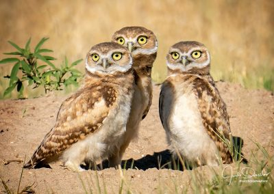 Young Burrowing Owl Trio