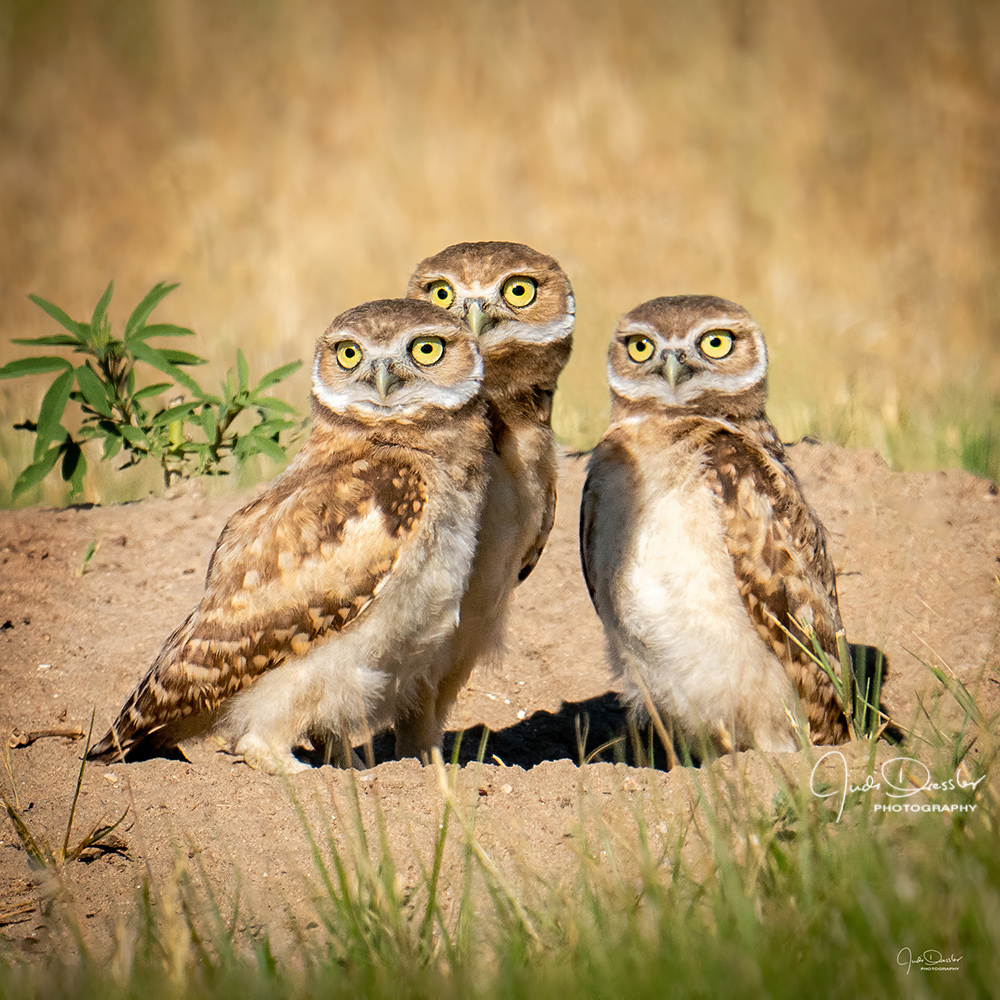 burrowing owls, burrowing owl babies, babies, prairie owls, family, siblings, burrowing, owlets, owls, big eyes, surprise, triplets, trio, cute, adorable, sweet, funny, nature, colorado, athene cunicularia, strigiformes, wildlife, strigidae, striginae, raptor, bird of prey, fauna, cunicularia, darling