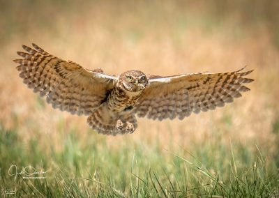 Burrowing Owl brings Grasshopper