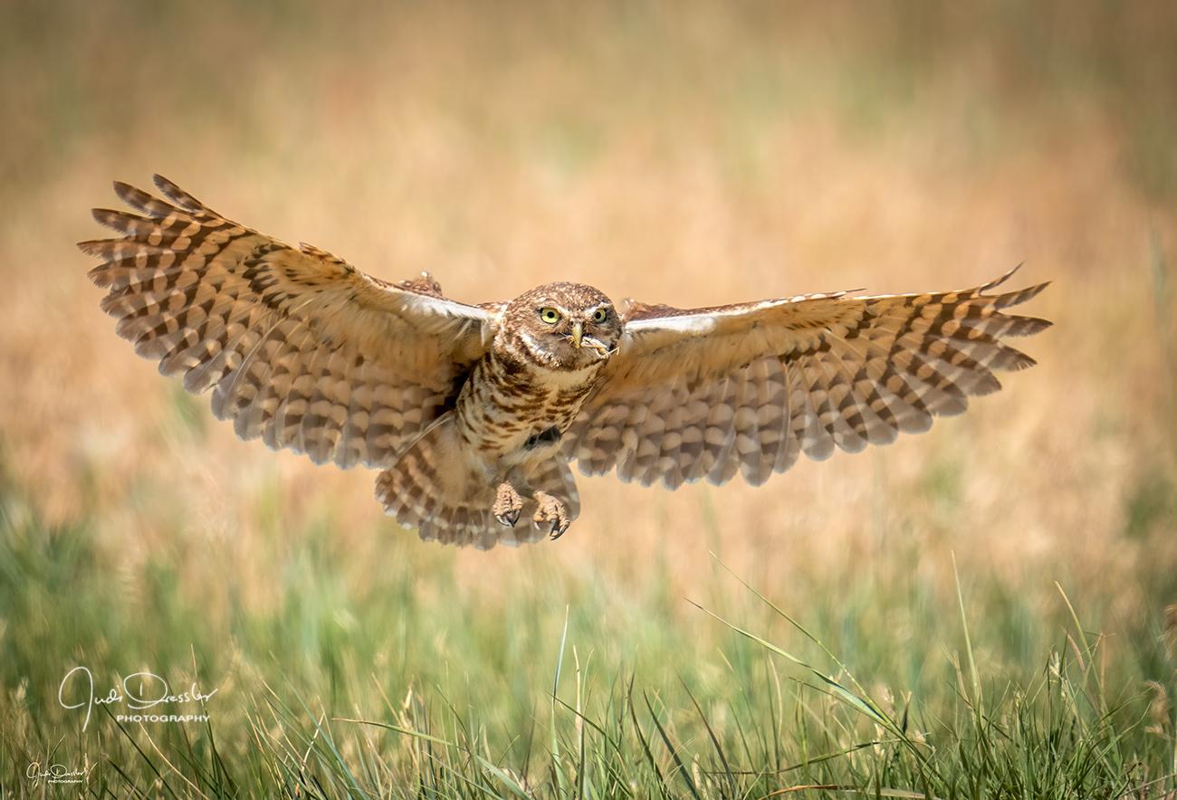 Burrowing Owl brings Grasshopper, owls