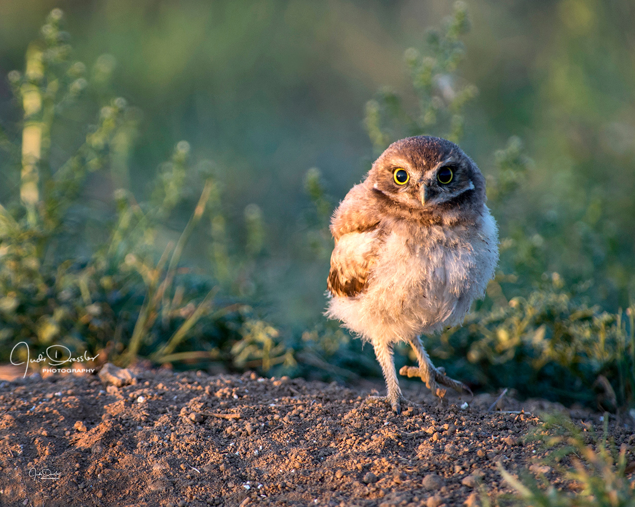 Out on my own, burrowing owl