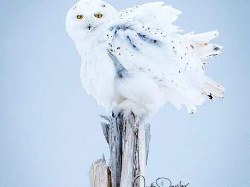 Snowy Owl Feather Shake