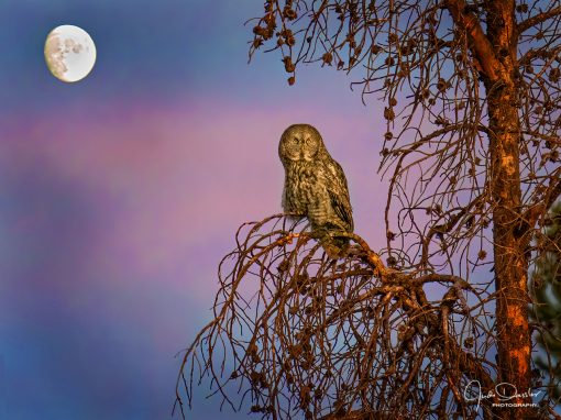 Great Gray Owl in the Moonlight